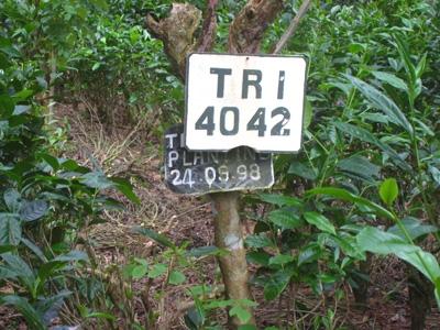 紅茶の苗木3
