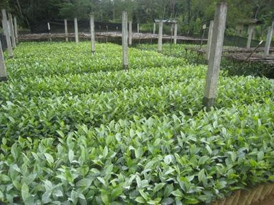 紅茶の苗木2