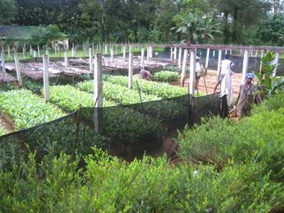 紅茶の苗木1